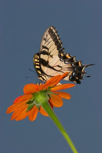 Stock Photo: 837R-2957 Low angle view of a Tiger Swallowtail Butterfly on a flower pollinating (Papilio glaucus)