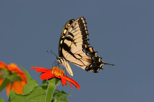 Stock Photo: 837R-2958 Close-up of a Tiger Swallowtail Butterfly on a flower pollinating (Papilio glaucus)