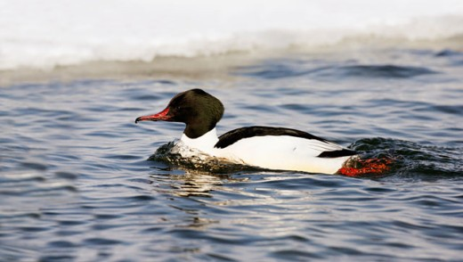Side profile of a Common Merganser swimming in water (Mergus merganser) : Stock Photo