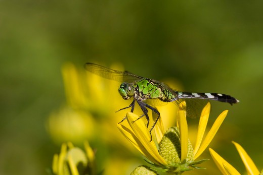 Close-up of an Eastern Pondhawk Dragonfly (Erythemis simplicicollis) on a flower : Stock Photo