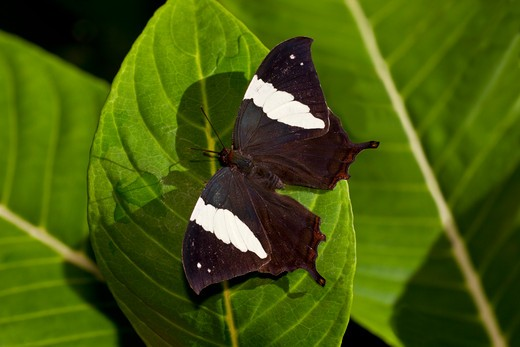 Stock Photo: 837R-4482 Silver-studded Leafwing (Hypna clytemnestra mexicana), directly above