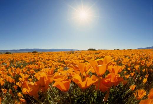 Stock Photo: 84-1228C California Poppies