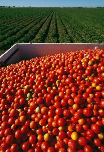 Stock Photo: 84-1249 Tomatoes