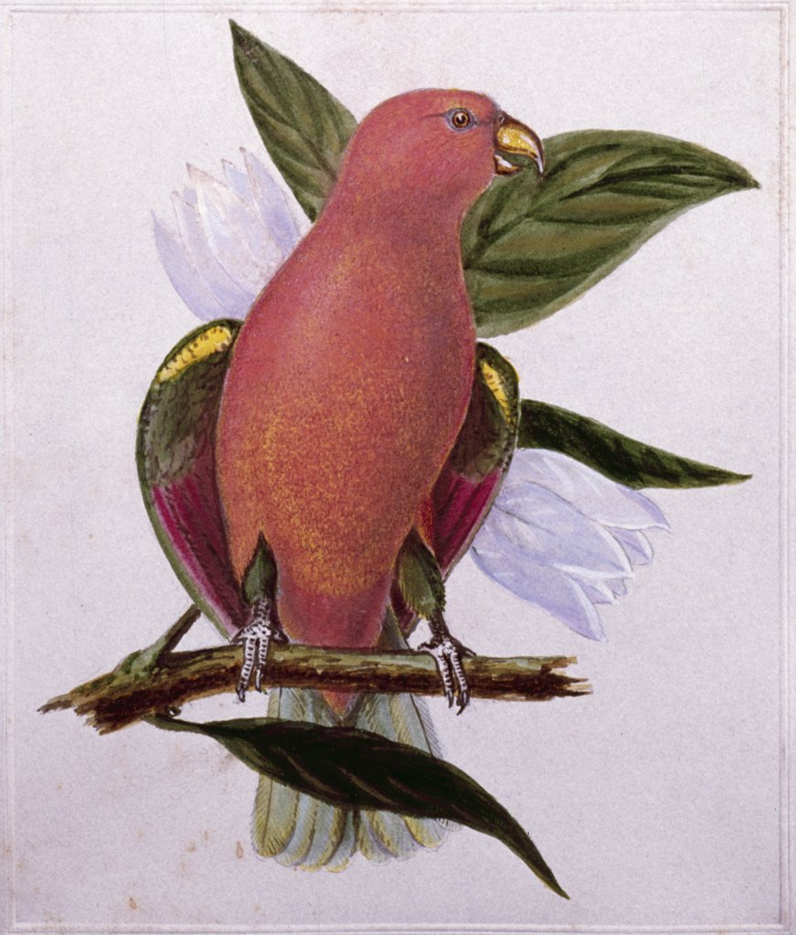 Stock Photo: 849-10367 Parrot by Titian Ramsay Peale,  Watercolor,  (1799-1885),  USA,  Pennsylvania,  Philadelphia,  David David Gallery