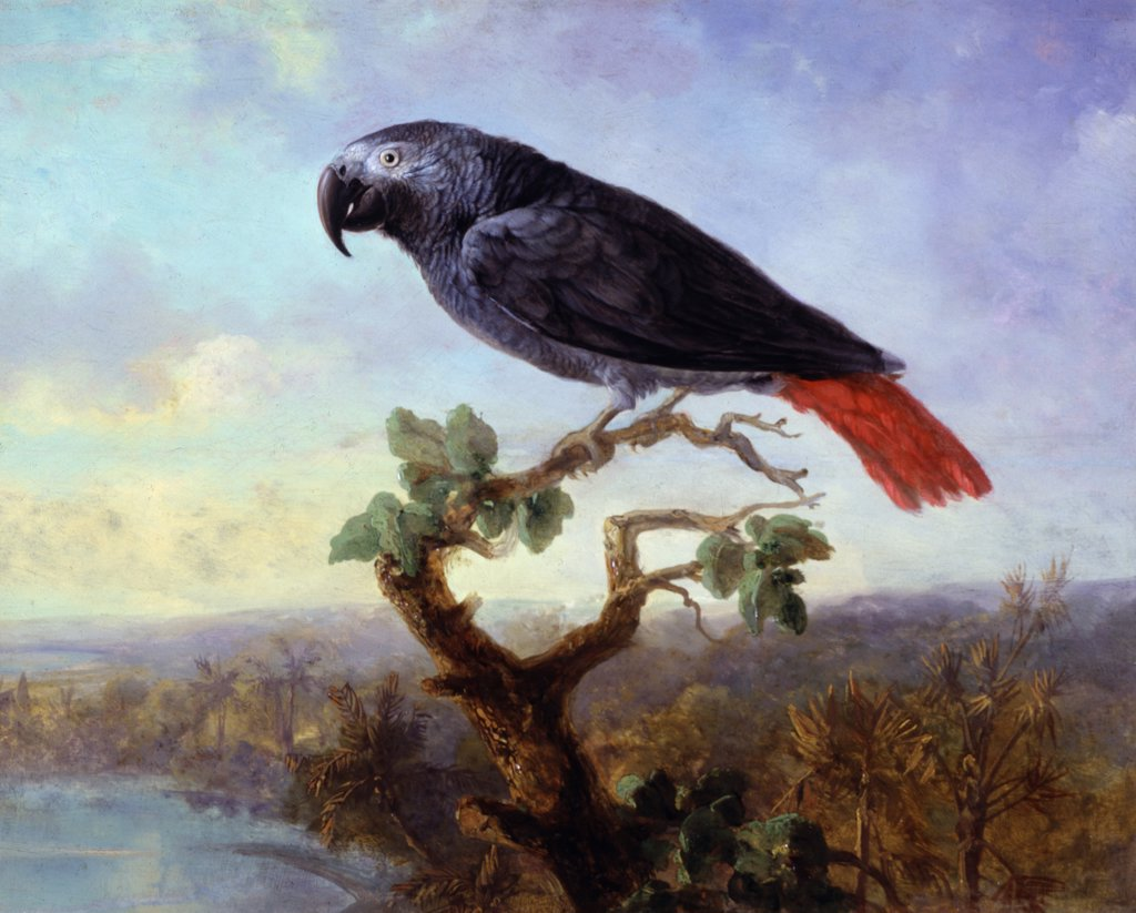 Stock Photo: 849-10497 African Grey Parrot, 19th Century, Artist Unknown (American), Oil On Wood Panel, David David Gallery, Philadelphia, Pennsylvania, USA