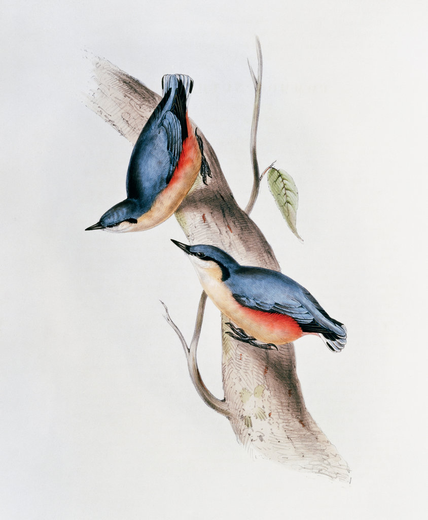Nuthatch - From Birds Of Europe
