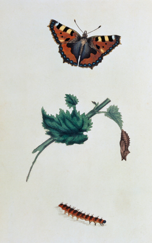 Stock Photo: 862-1326 Natural History of British Insects (Butterfly)