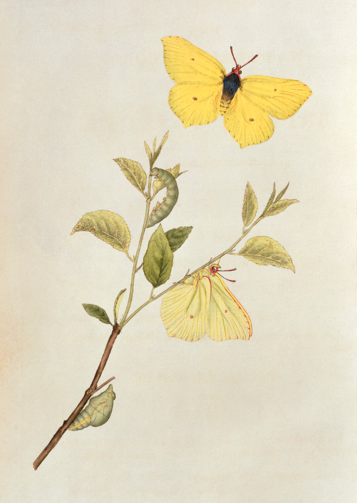 Stock Photo: 862-1327 Natural History of British Insects (Butterfly) 1742 Edward Dondvan (18th C.)