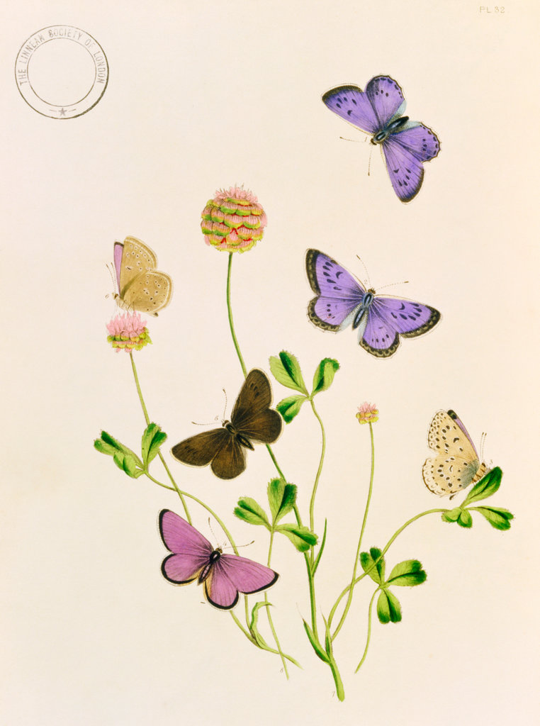 Stock Photo: 862-1328 Humphreys & Westwood, British Butterflies