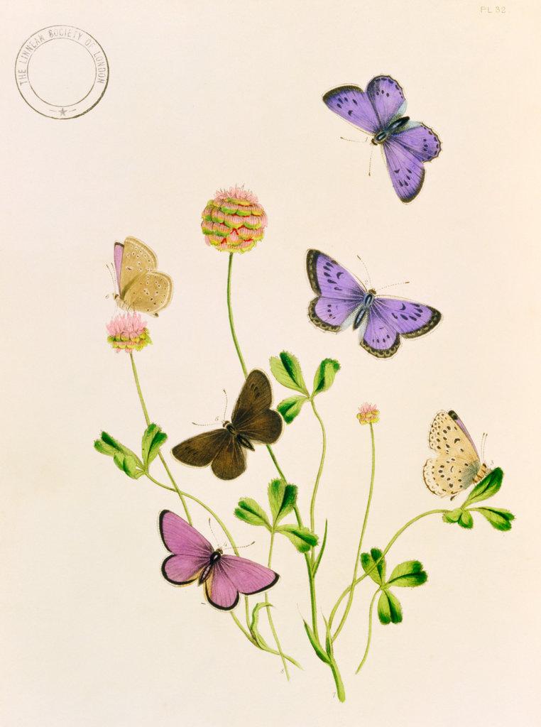 Stock Photo: 862-1328 Humphreys & Westwood, British Butterflies 1851 Artist Unknown