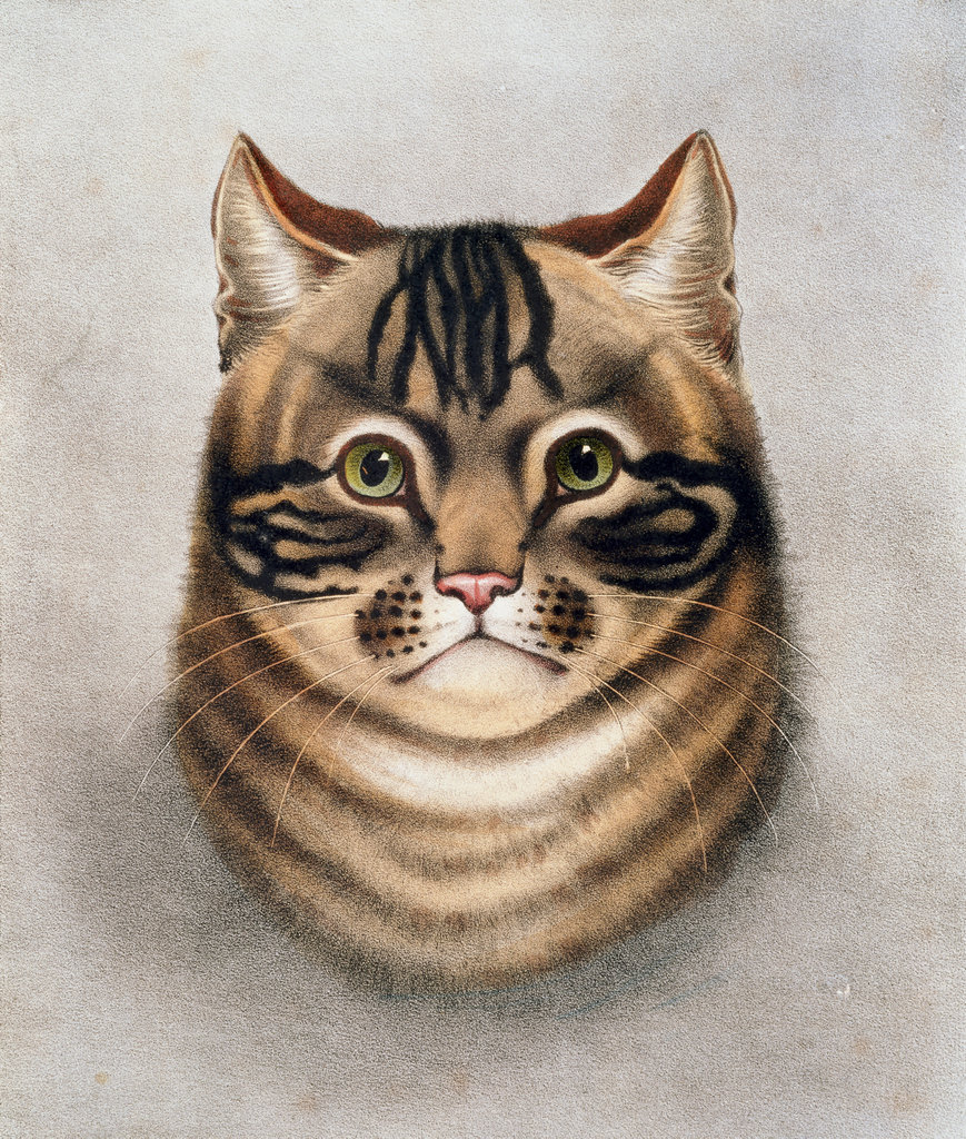 Stock Photo: 862-1434 Tabby Cat 