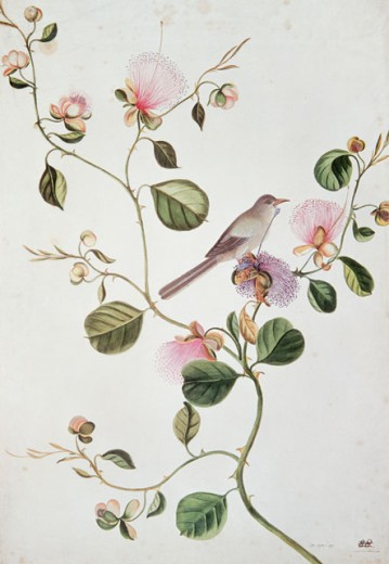 "Stock Photo: 862-1502 Capers - Capparis Spinosa With A Jungle Warbler From ""Flora Of India""