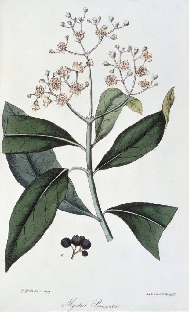 Stock Photo: 862-1608 Allspice: Illustration from Flora Medica