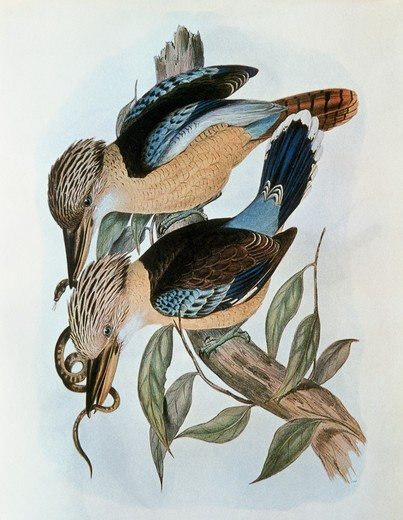 Stock Photo: 862-1619 Blue Winged Kookaburra John Gould (1804-1881 British) Lithograph