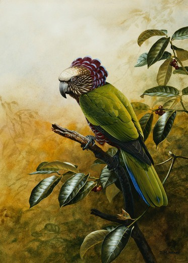Stock Photo: 866-13292 A Hawk-Headed Parrot. David Morrison Reid Henry (1919-1977). Pencil, watercolour and bodycolour. 36.9 x 26.6cm.