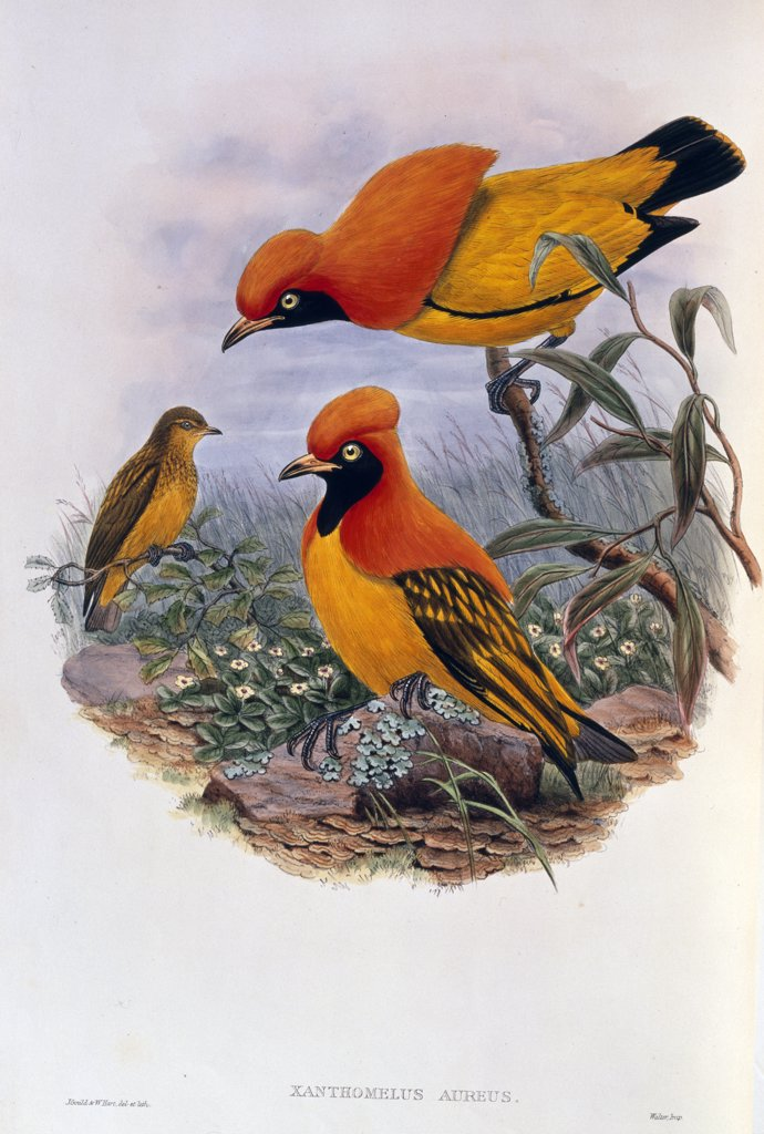 Stock Photo: 866-3346 Birds of New Guinea and the Adjacent Papuan Islands by John Gould, (1804-1881), UK, England, London, Christie's