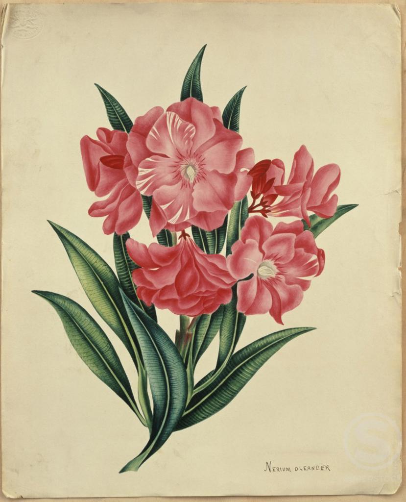 nerium oleander botanical print watercolor christie s images london