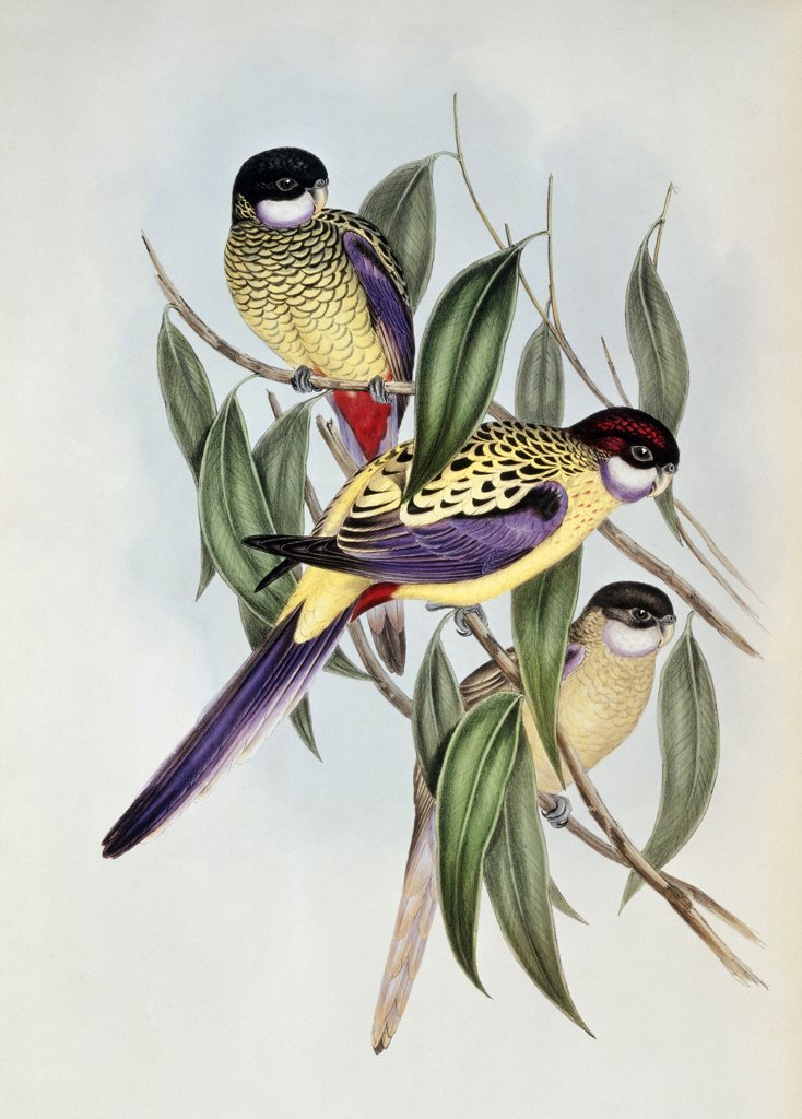 Stock Photo: 866-3953 Birds Of Australia
