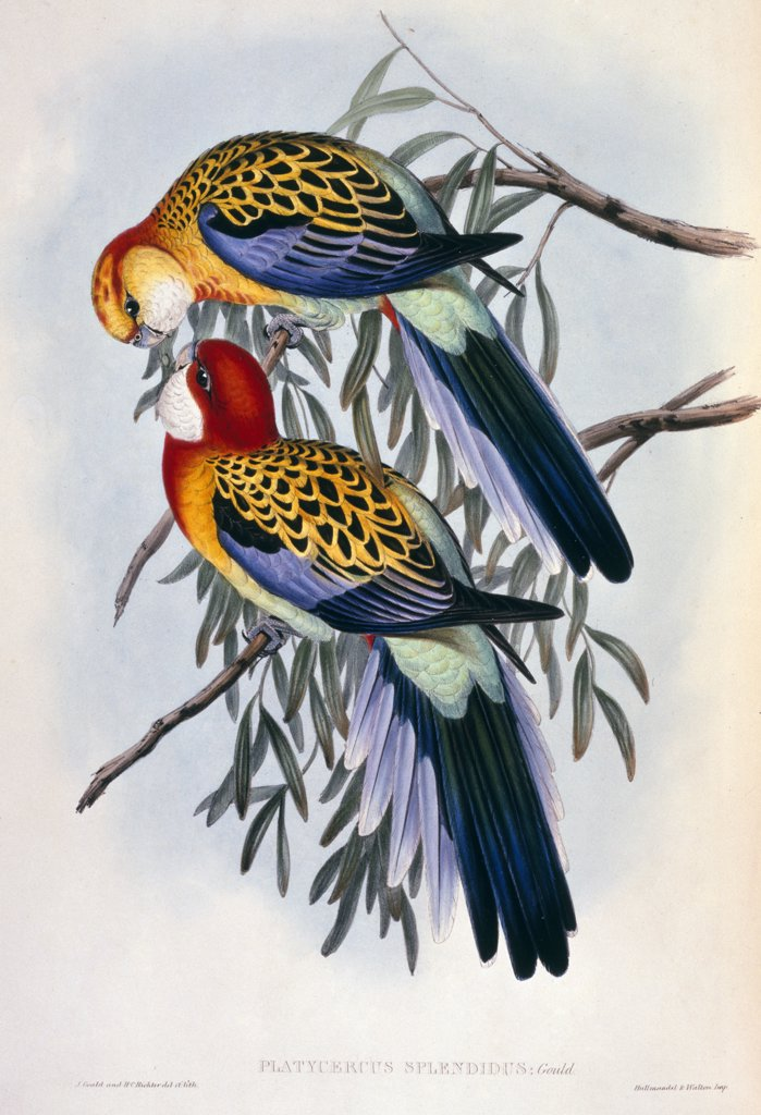 Birds of Australia, by John Gould, lithograph, (1804-1881), England, London, Christie's Images : Stock Photo