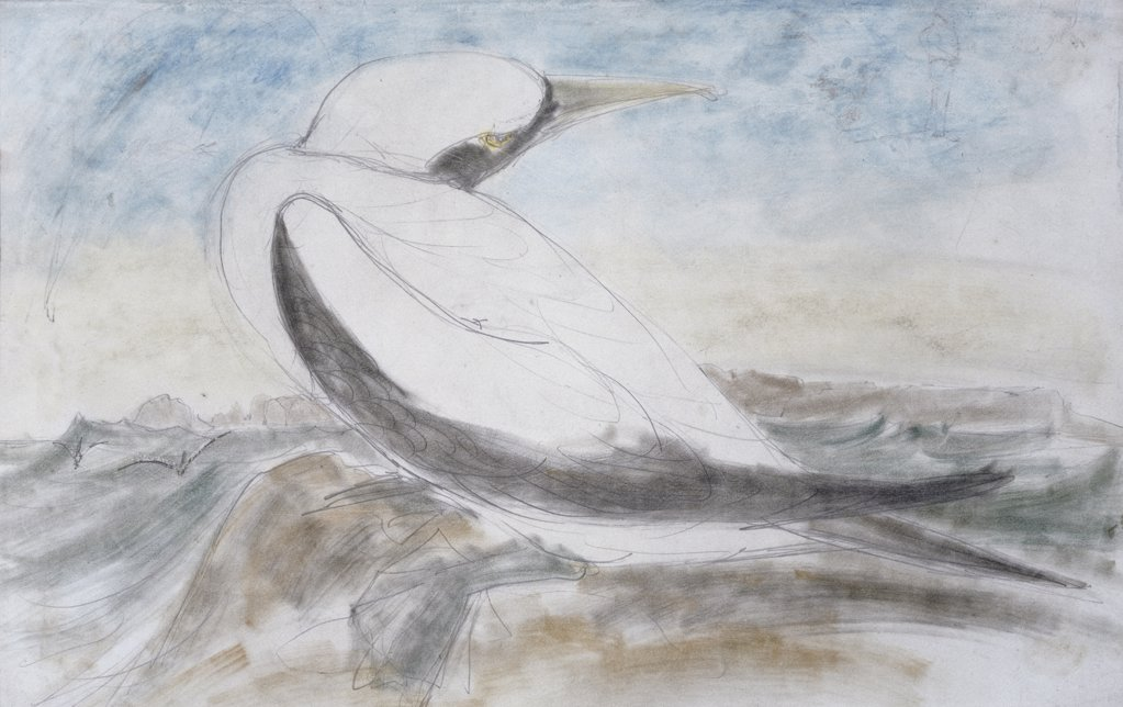 Stock Photo: 866-4028 Masked Gannet, Sula Personata
