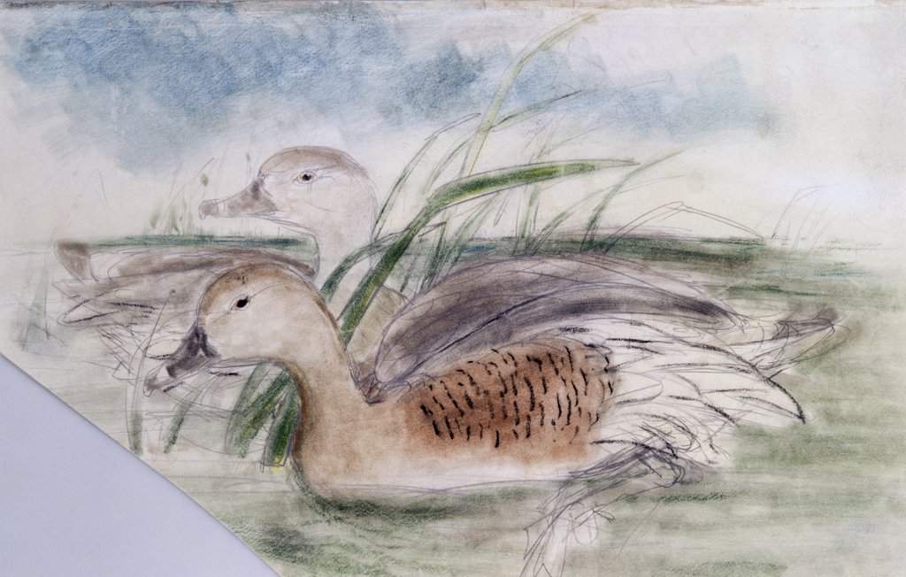 Stock Photo: 866-4231 Eyton's Duck Leptotarsis Eytoni (Plumed Whistling Duck)