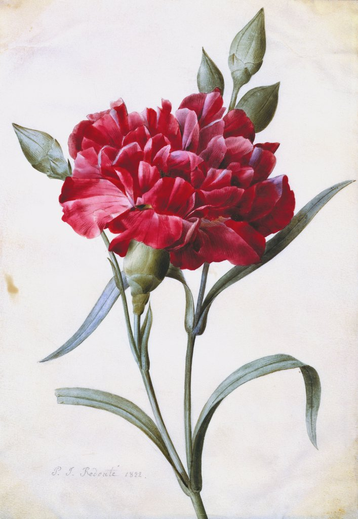 A Dark Red Carnation.    Pierre-Joseph Redoute (1759-1840). Dated 1822, pencil, watercolour and bodycolour, 197 x 138mm. : Stock Photo