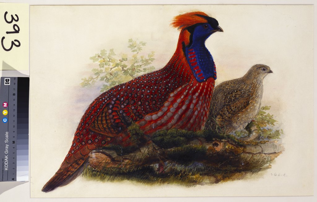 Stock Photo: 866-7654 Temminck's Tragopan (Ceriornis Temminckii). Henry Constantine Richter (1821-1902). Pencil and watercolour heightened with bodycolour and gum arabic, 370 x 545mm.