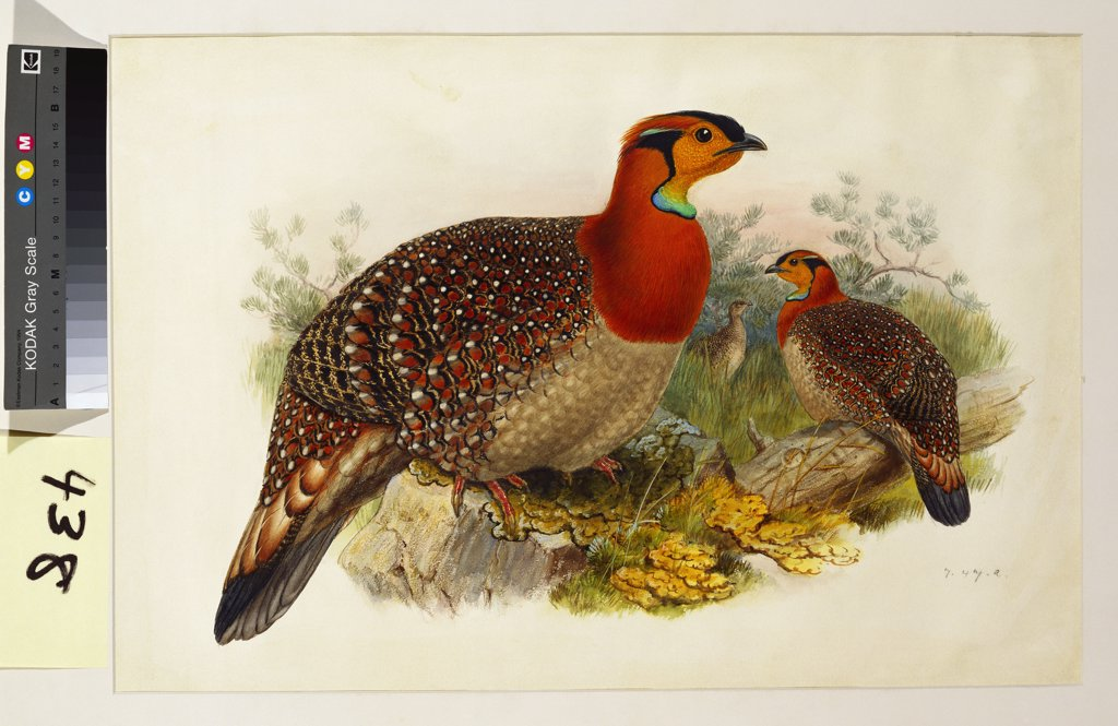 Stock Photo: 866-7655 Blyth's Tragopan (Ceriornis Blythii). Joseph Wolf (1820-99). Pencil and watercolour heightened with bodycolour and gum arabic, 362 x 537mm.