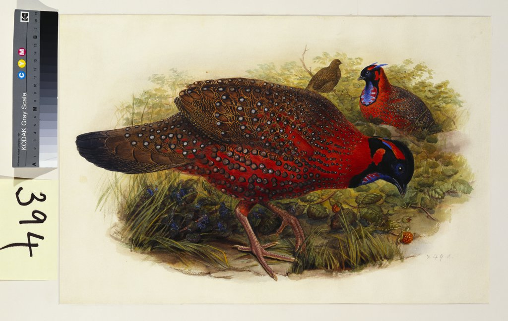 Stock Photo: 866-7656 Satyr Tragopan (Ceriornis Satyra) Henry Constantine Richter (1821-1902). Pencil and watercolour heightened with bodycolour and gum arabic, 365 x 550mm.