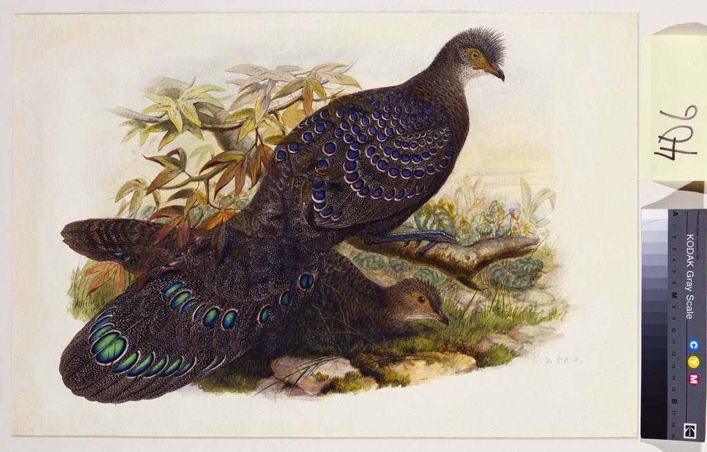 Stock Photo: 866-7657 Grey Peacock Pheasant (Polyplectron Chinquis). Henry Constantine Richter (1821-1902). Pencil and watercolour heightened with bodycolour and gum arabic, 365 x 543mm.