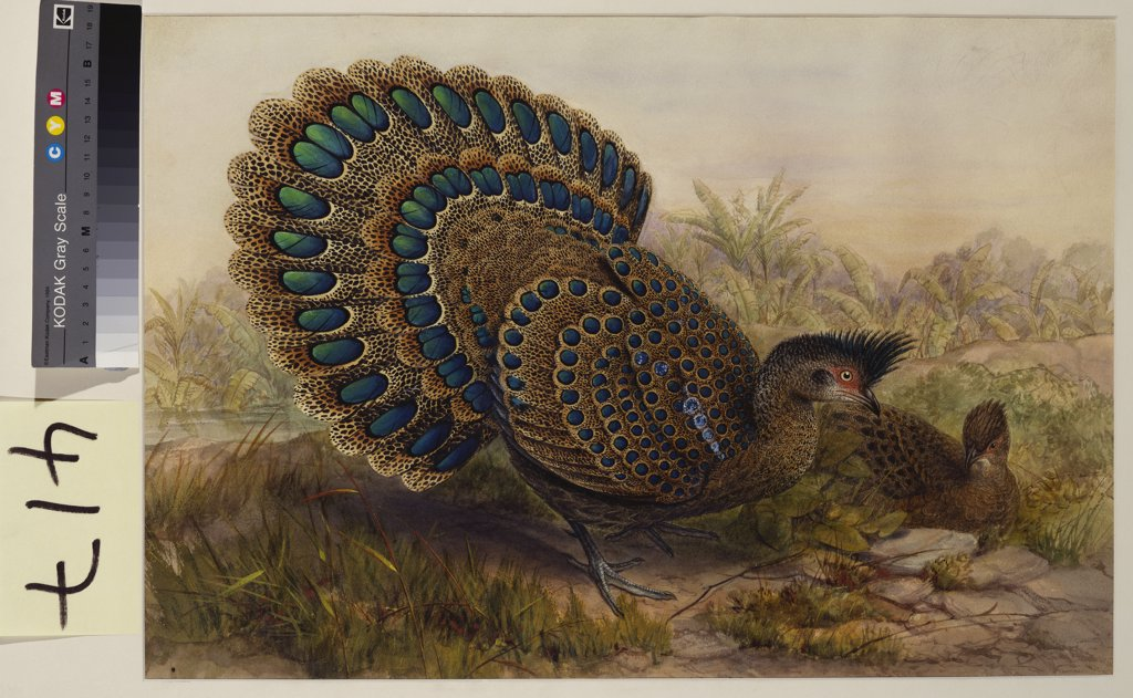 Stock Photo: 866-7658 Malayan Peacock Pheasant (Polyplectron Bicalcaratum). Henry Constantine Richter (1821-1902). Pencil and watercolour heightened with bodycolour and gum arabic, 364 x 534mm.