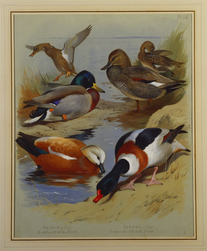 Stock Photo: 866-7659 Mallard, Gadwell, Ruddy Shelduck, Common Shelduck.  Archibald Thorburn (1860-1935). Dated 1914, pencil, watercolour, and bodycolour on grey paper, 457 x 369mm.