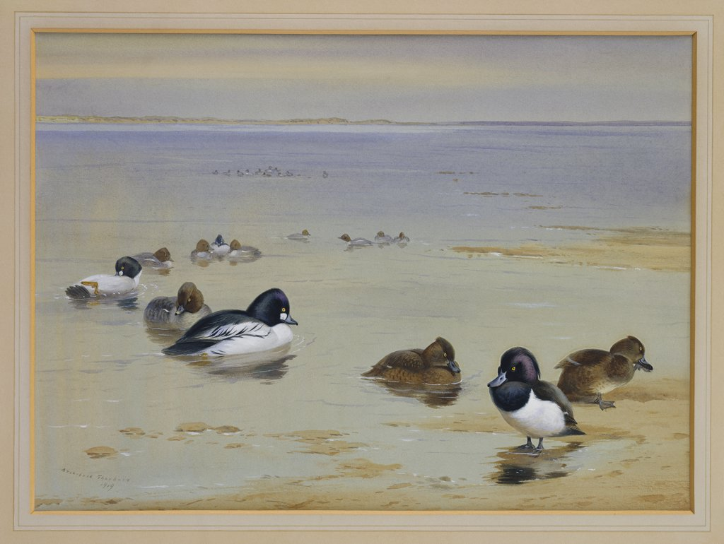 Stock Photo: 866-7670 Goldeneye And Tufted Duck.  Archibald Thorburn (1860-1935). Dated 1919, Pencil And Watercolour Heightened With White, 10 1/2 X 14 1/2in.