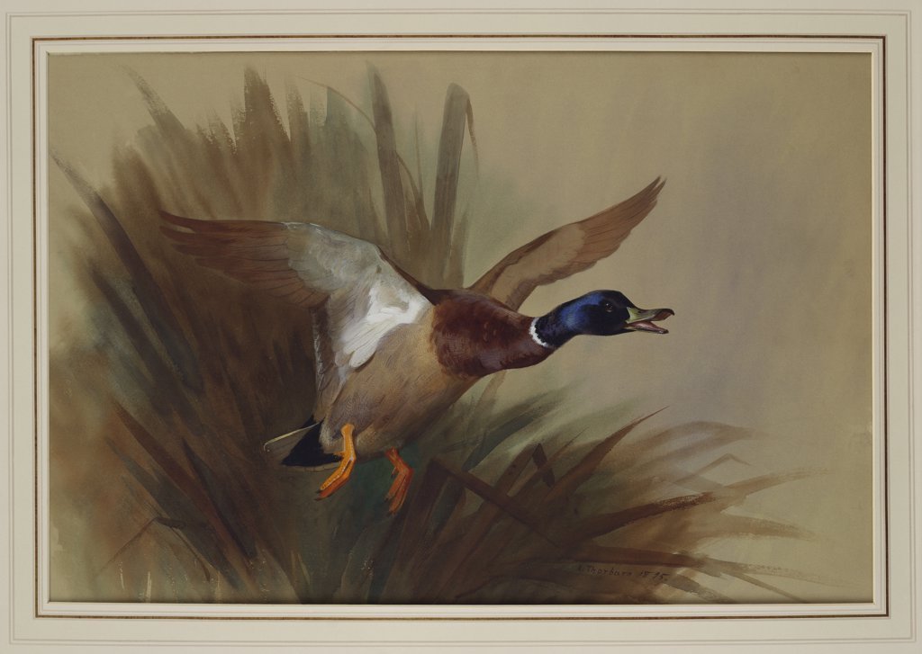 Stock Photo: 866-7671 A Mallard Rising From Reeds. Archibald Thorburn (1860-1935). Dated 1895, Watercolour And Bodycolour On Buff Paper, 19 X 27 3/4in.