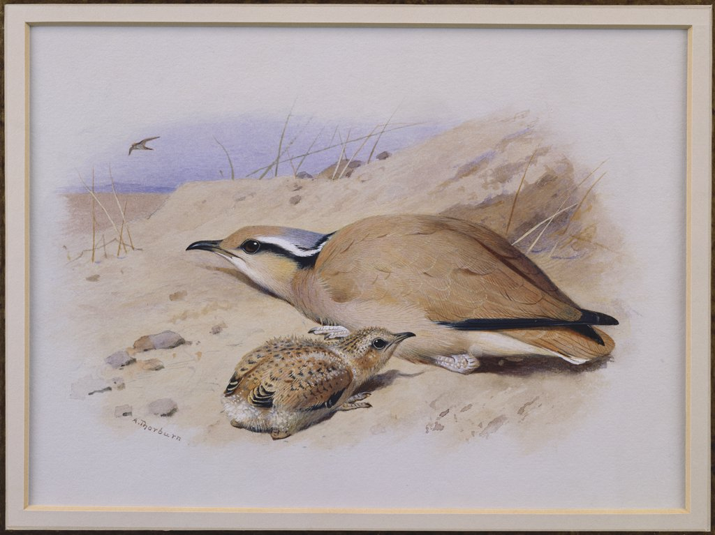 Stock Photo: 866-7672 A Cream-Coloured Courser.  Archibald Thorburn (1860-1935). Pencil And Watercolour Heightened With White, 7 X 9 1/2in.