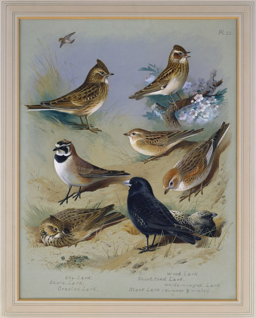 Stock Photo: 866-7673 Larks. Archibald Thorburn (1860-1935). Pencil And Watercolour Heightened With White, 6 3/4 X 5 1/8in.