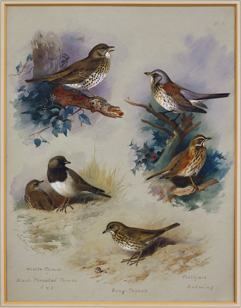 Thrushes. Archibald Thorburn (1860-1935). Dated 1913, Pencil And Watercolour On Grey-Blue Paper, 19 X 14 3/4in. : Stock Photo