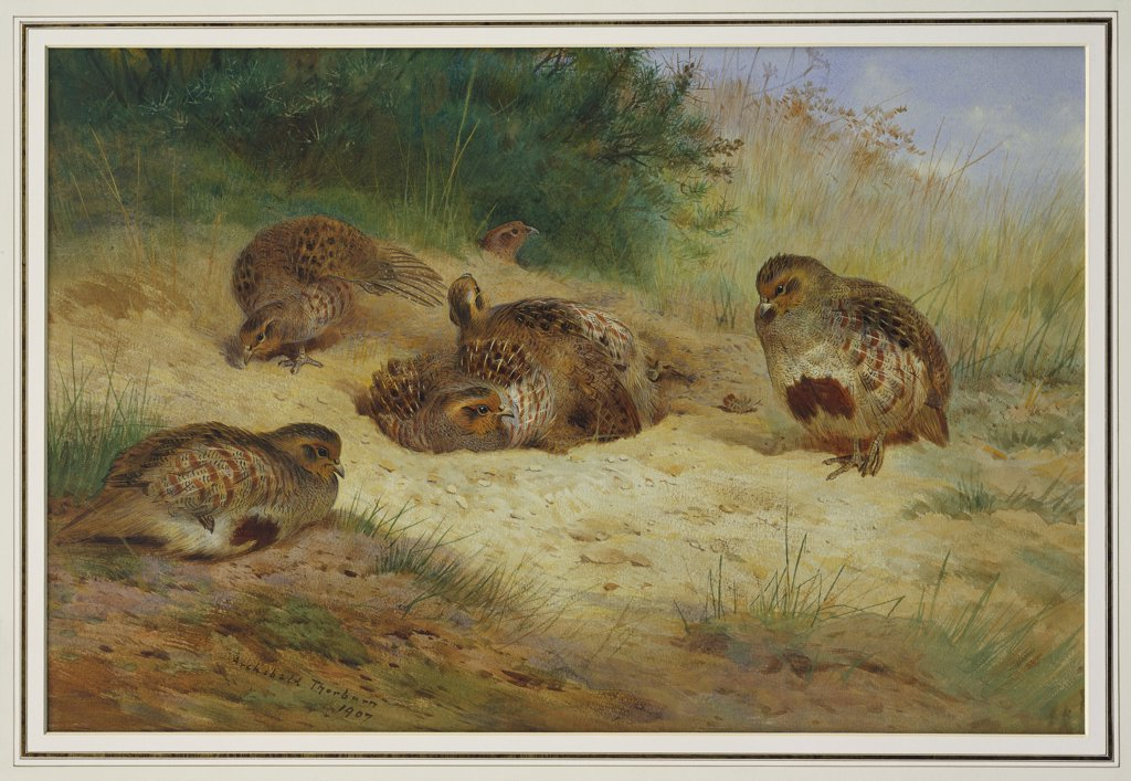 Stock Photo: 866-7675 Partridges Basking.  Archibald Thorburn (1860-1935). Dated 1907, Pencil And Watercolour Heightened With White And Touches Of Gum Arabic, 15 1/8 X 22 3/8in.
