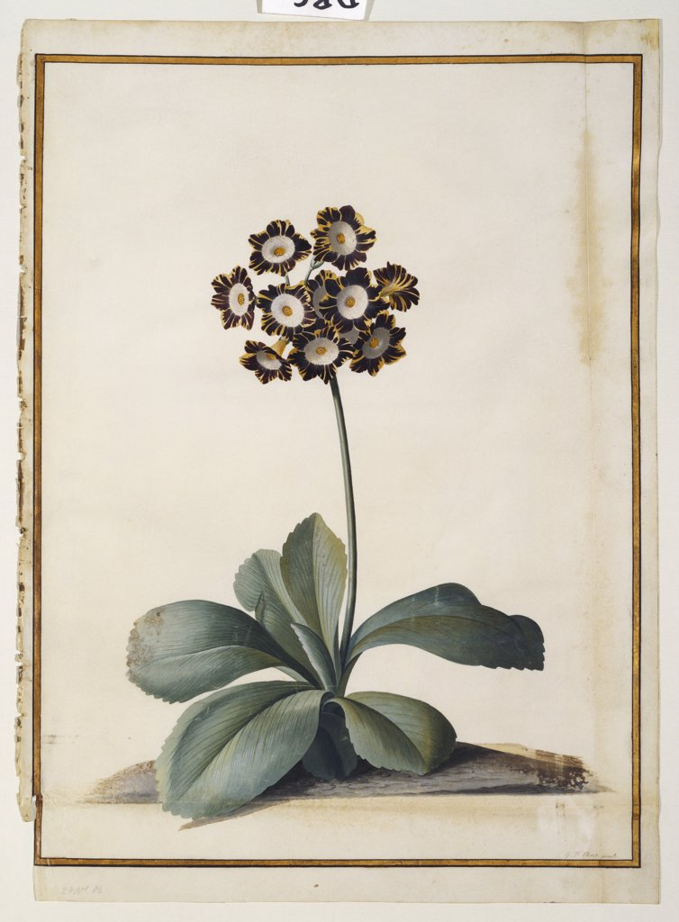 Stock Photo: 866-7843 A Purple Variegated Auricula. Georg Dionysius Ehret (1708-1770). Watercolour and bodycolour on vellum, 470 x 333mm.