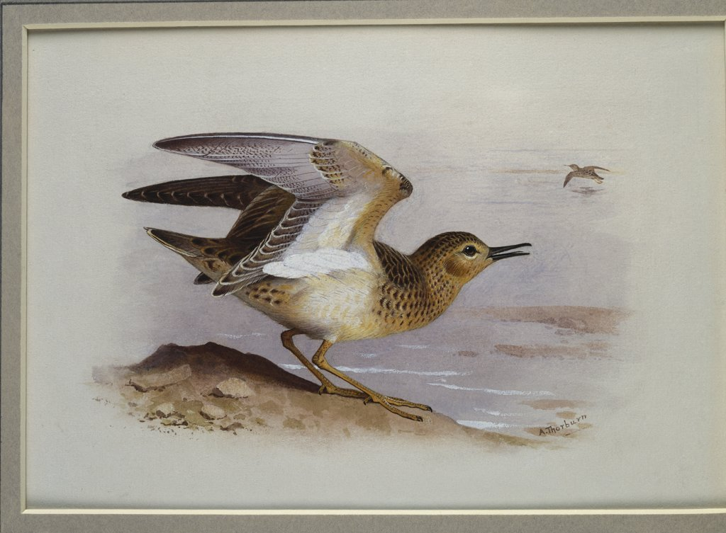 Stock Photo: 866-7845 A Buff-Breasted Sandpiper.  Archibald Thorburn (1860-1935). Pencil and watercolour heightened with white, vignette, 6 3/4 x 9 5/8in.