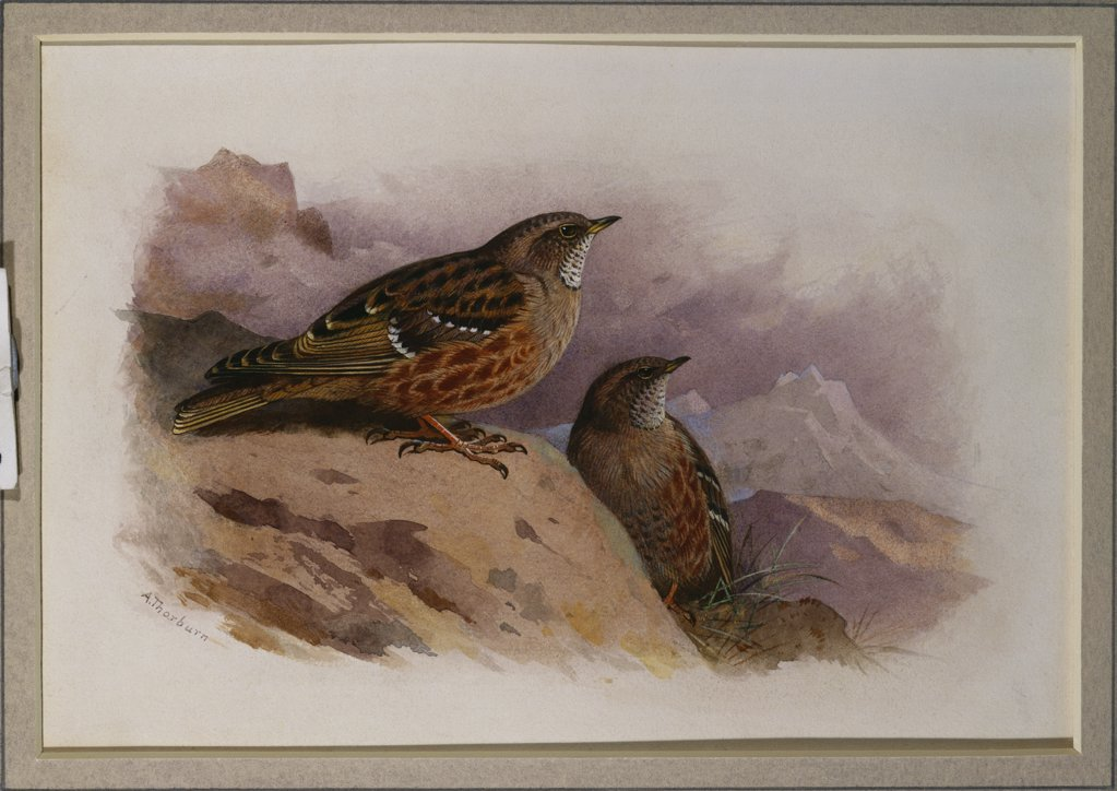 Stock Photo: 866-7846 An Alpine Accentor.  Archibald Thorburn (1860-1935). Pencil and watercolour heightened with white, vignette, 6 1/2 x 9 3/8in.