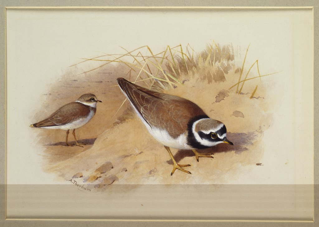 Stock Photo: 866-7847 A Little Ringed Plover.  Archibald Thorburn  (1860-1935). Watercolour heightened with white vignette, 6 7/8 x 9 3/4in.