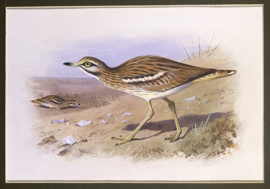 Stock Photo: 866-7848 A Stone Curlew. Archibald Thorburn (1860-1935). Watercolour heightened with white vignette, 6 5/8 x 9 5/8in.