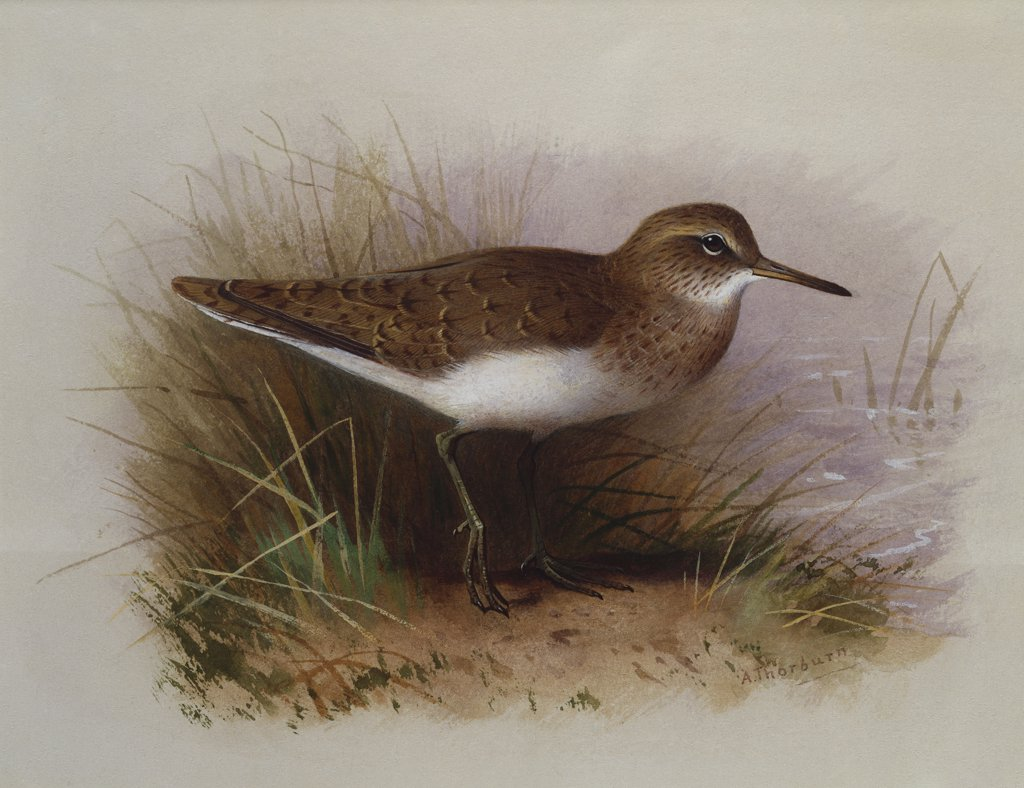 Stock Photo: 866-7849 A Common Sandpiper. Archibald Thorburn (1860-1935). Watercolour heightened with white, vignette, 6 7/8 x 9 3/4in.