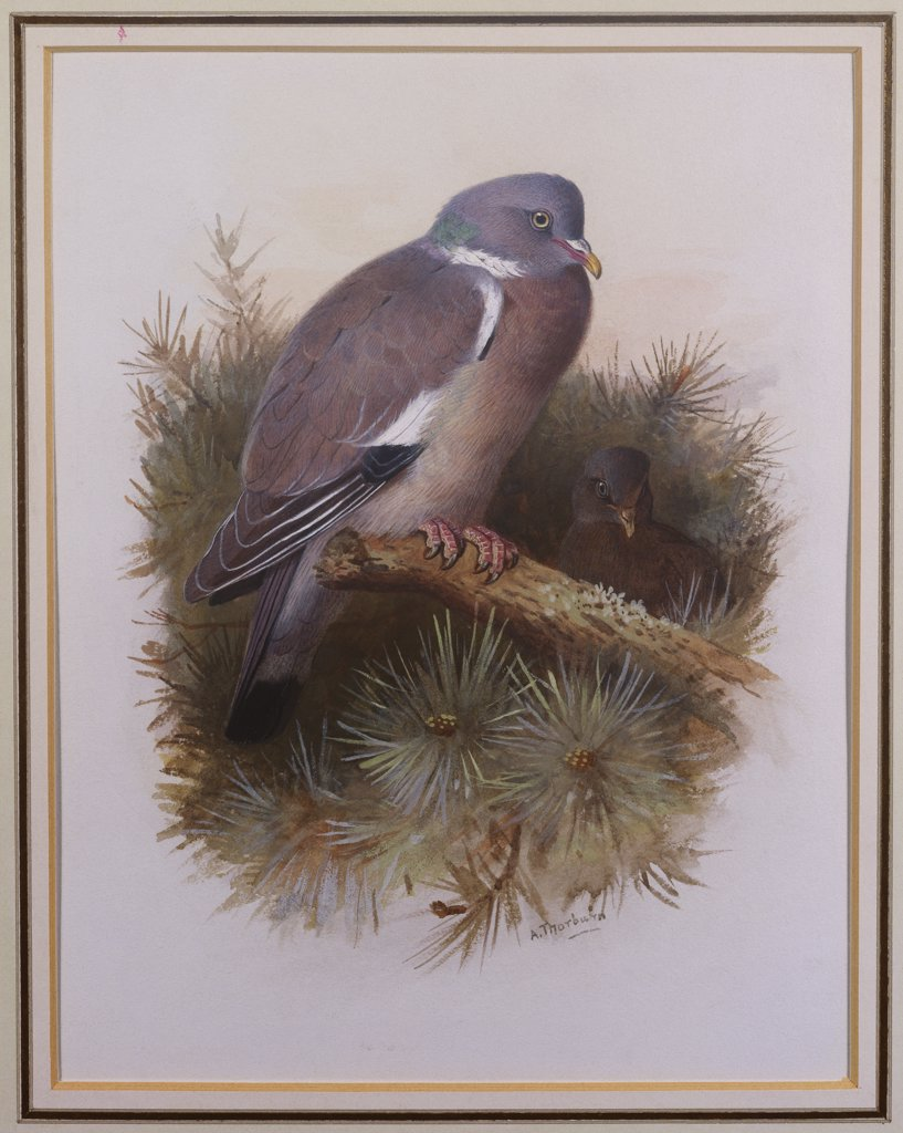 Stock Photo: 866-7850 A Wood Pigeon or Ring Dove. Archibald Thorburn (1860-1935). Pencil and watercolour with touches of white heightening, 8 3/4 x 6 5/8in.