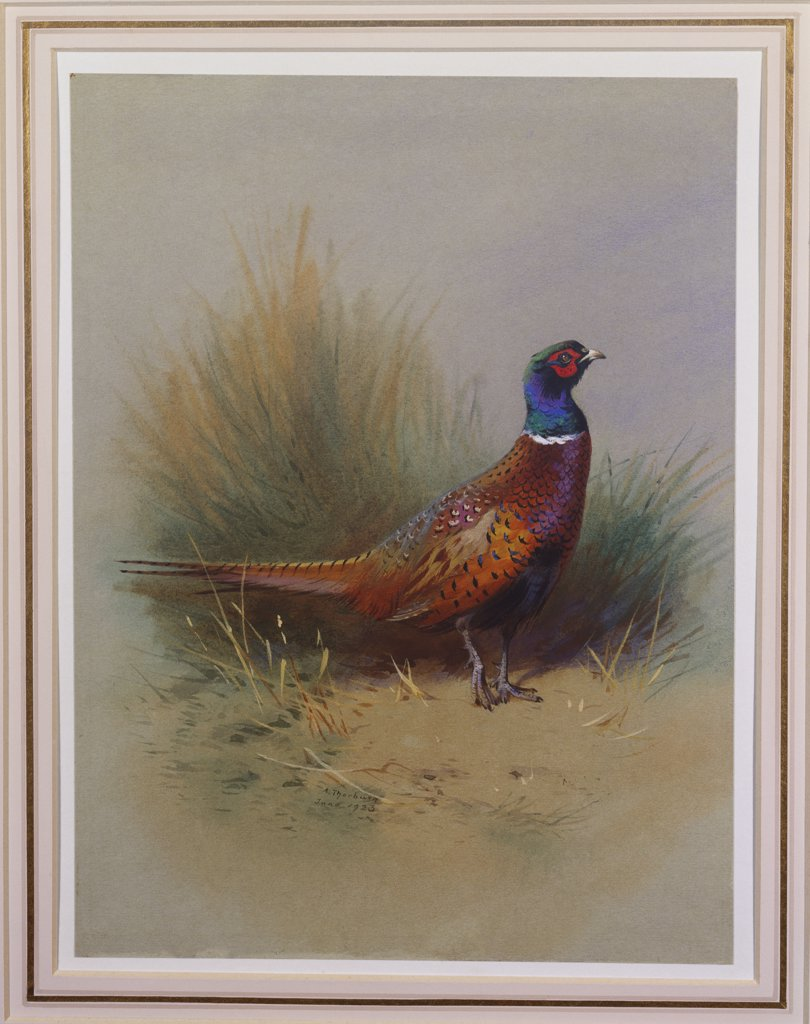 A Cock Pheasant. Archibald Thorburn (1860-1935). Pencil and watercolour heightened with white, on pale grey paper,  dated 1923.  10 1/4 X 7 1/2. : Stock Photo