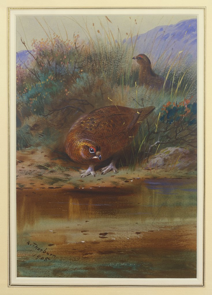 Stock Photo: 866-7853 Red Grouse at the Water's Edge. Archibald Thorburn (1860-1935). Dated 1905, pencil and watercolour heightened with white, on light grey paper, 10 1/2 x 14 5/8in.