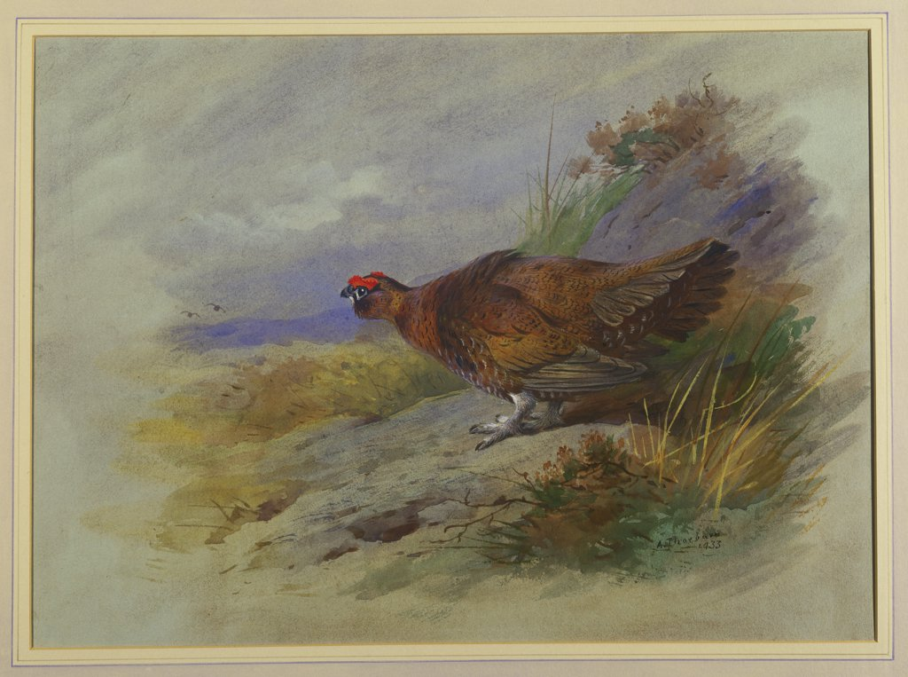 Stock Photo: 866-7854 Red Grouse. Archibald Thorburn (1860-1935). Pencil and watercolour with touches of white heightening, on light grey paper, 10 1/2 x 14 5/8in.