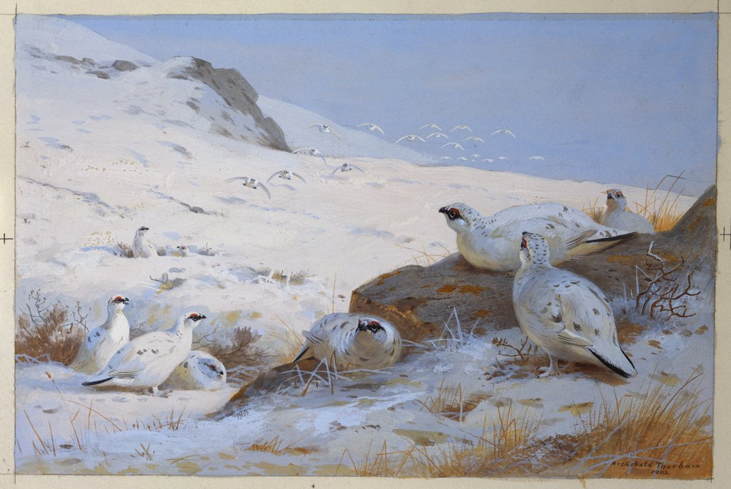 Ptarmigan. Archibald Thorburn (1860-1935). Dated 1902, watercolour and bodycolour, 203 x 305mm. : Stock Photo