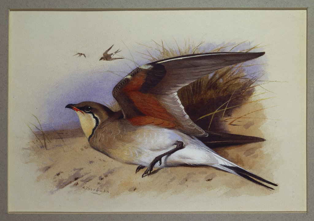 A Common Pratincole. Archibald Thorburn (1860-1935). Watercolour, 16.5 x 24.1cm. : Stock Photo